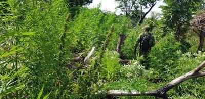 Destruyen 14 mil toneladas de marihuana en cinco años entre Paraguay y Brasil