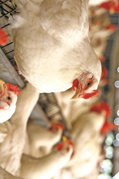 Crecen un 20% las exportaciones avícolas de Paraguay en primer cuatrimestre