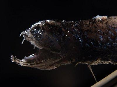 Un tipo de peces oculta amenaza a presas con dientes transparentes