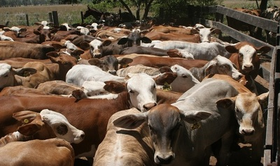La oferta de ganando no aparece y el precio del ganado para faena sigue estable