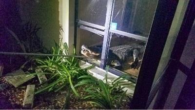 Visita inesperada: Encontró un cocodrilo en su cocina