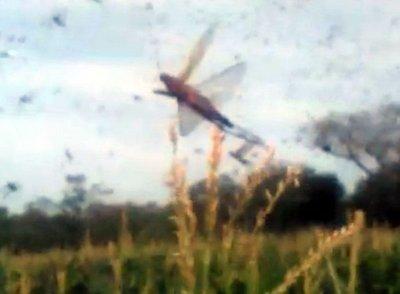 Alerta por presencia de langostas en el Chaco