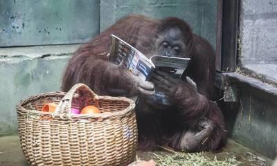 """""""Sandra"""", la orangutana que se convirtió en """"persona"""""""