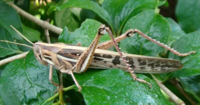 Declaran al Chaco en emergencia fitosanitaria por langostas