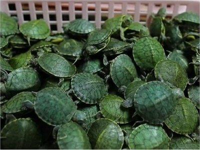 Malasia decomisa 5.200 crías de tortuga traficadas desde China