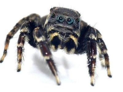 Descubren especies de arañas y una recibe el nombre Karl Lagerfeld