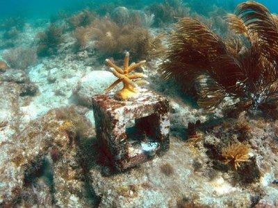 Extraen corales de Florida para salvarlos de una enfermedad