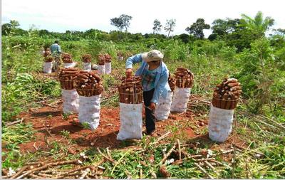 MAG iniciará pago por cosecha y flete de mandioca desde la próxima semana