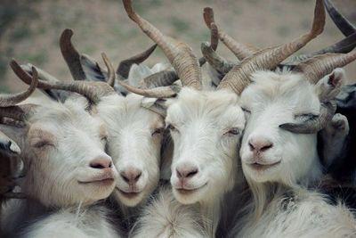 Las cabras pueden distinguir las emociones por los balidos de otras cabras