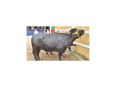 Exhiben a búfalos para erradicar mitos