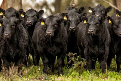 Prevén que faena de ganado Angus represente el 33% del total país