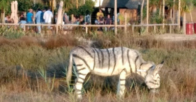 En un zoológico pintaron burros como cebras