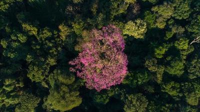 Un hermoso Tajy Hû de Minga Guazú puja por ser el Coloso de la Tierra 2019