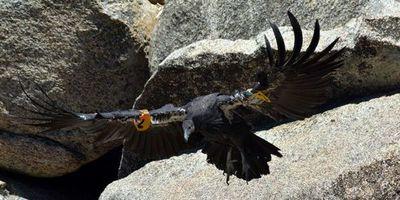 Biólogos de EEUU celebran nacimiento del polluelo mil del cóndor californiano