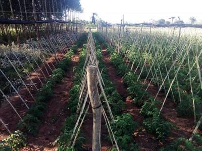 Buenas perspectivas de producción de tomate en Caaguazú