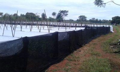Heladas no afectaron producción hortícola en la zona de Caaguazú