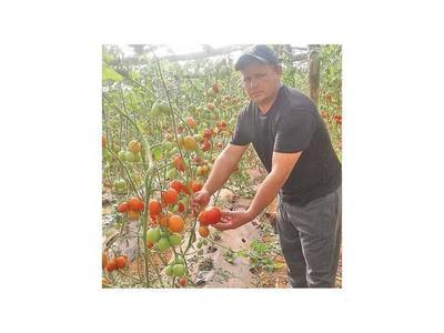Tomateros reclaman mayor eficacia   contra el  contrabando