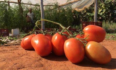 Productores de tomate no saben cómo hacer frente al contrabando