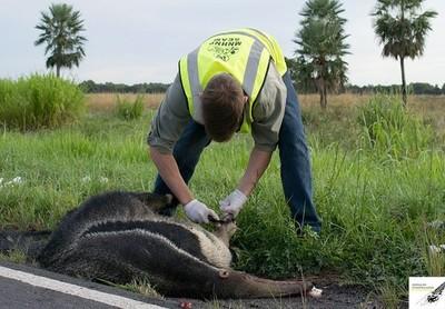 Buscan reducir la muerte de animales en carretera para conservar la fauna » Ñanduti