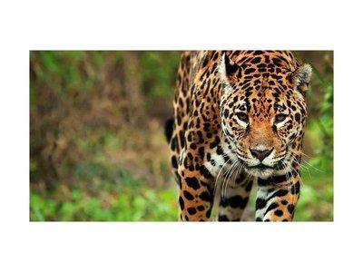 Jaguarete causa temor en Yatytay