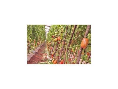 Tomateros están desesperados porque no pueden vender