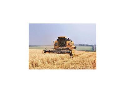 El desarrollo del trigo es inestable debido al clima