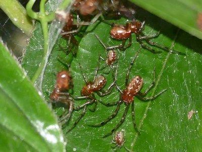 Los ciclones tropicales favorecen a las colonias de arañas agresivas