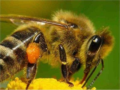 Cuba evalúa beneficio de abeja sin aguijón