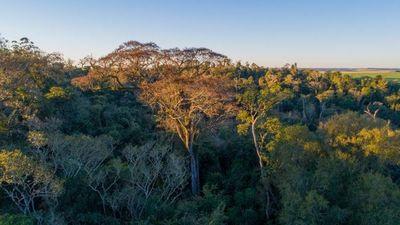 Un yvyra pytá de 46 metros es el coloso 2019