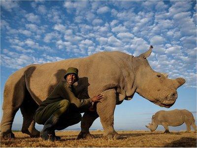 Extraen óvulos de rinoceronte blanco para intentar salvar especie