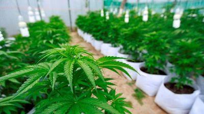 Proponen despenalizar el autocultivo del cannabis con fines medicinales