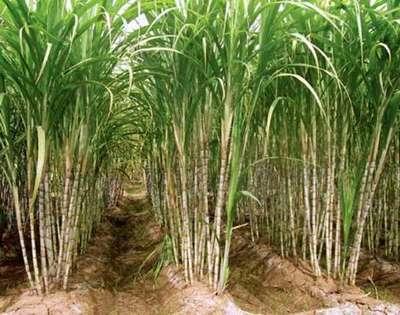 Se abre el mercado de Taiwán para el azúcar nacional