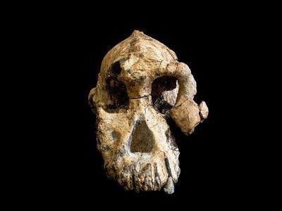 Encuentran el cráneo de un coetáneo de Lucy