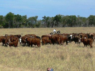 El precio del ganado gordo en Paraguay comienza a subir