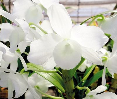 Dendrobium  al máximo