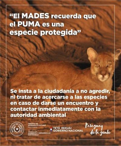 Ministerio del Ambiente solicita investigación fiscal para identificar a personas que atacan a puma