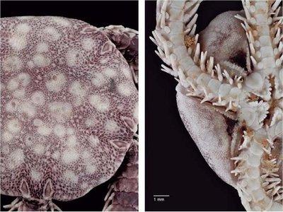 Científicos hallan en isla mexicana nueva especie de equinodermo