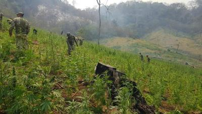 En operativo anulan más de 477 toneladas de marihuana