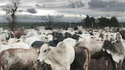 El precio del ganado gordo se afirma y llega a U$S 2,80 el novillo trazado