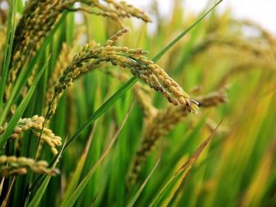 Paraguay exportará arroz a Irak