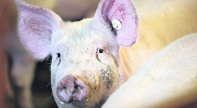 Corea del Sur activa protocolo sanitario para contener peste porcina