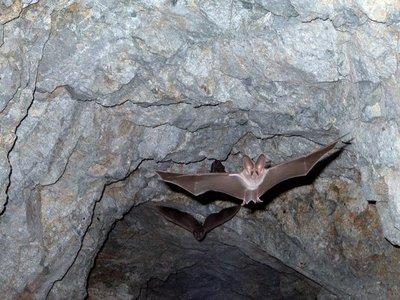 Murciélagos espían a sus presas y a otros murciélagos para cazar con éxito