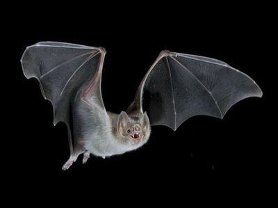 UNA insta a no tocar a murciélagos para evitar el contagio de rabia