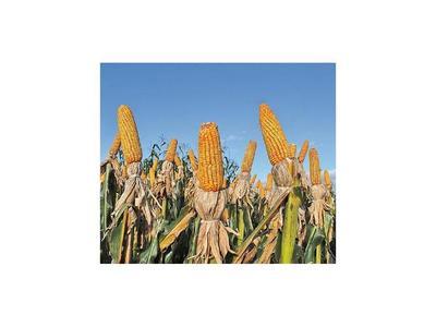 UE no quiere maíz ni soja  del Mercosur