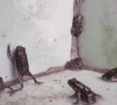 Invasión de ranas en escuela de Presidente Franco