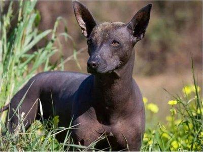 La historia del xoloitzcuintle, el perro sin pelo