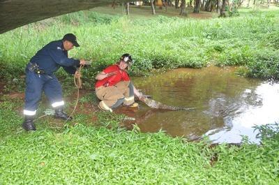 Intentaron rescatar a yacaré herido del Lago de la República