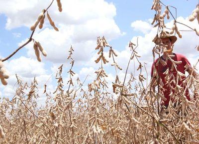 Pequeños agricultores vuelven a apostar fuertemente por la soja