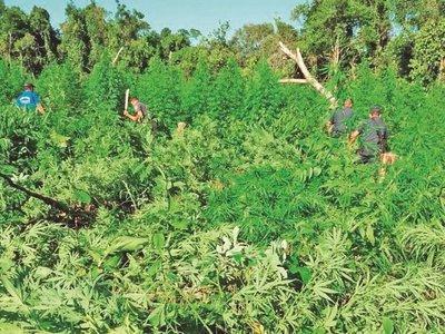 Estado y cannabis: Una relación que avanza  con contradicciones