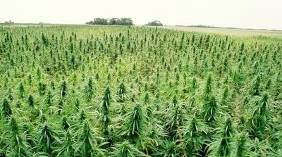 El cultivo del cáñamo generaría 150.000 puestos de trabajo